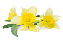 Narciso giallo Fotografie Stock