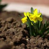 Narciso giallo Fotografia Stock Libera da Diritti
