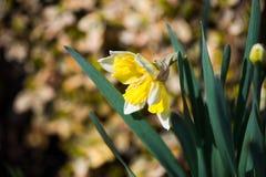 Narciso giallo fotografie stock libere da diritti