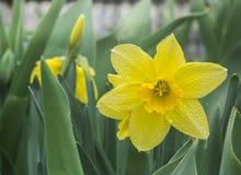 Narciso giallo bagnato Immagine Stock
