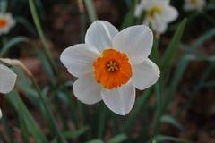 Narciso giallo bianco del fiore Fotografia Stock Libera da Diritti