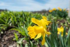 Narciso giallo con una profondità di campo bassa - immagine fotografie stock libere da diritti