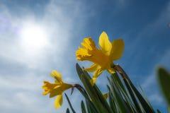 Narciso giallo con una profondità di campo bassa - immagine fotografia stock libera da diritti
