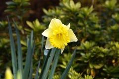 Narciso giallo del fiore Immagine Stock Libera da Diritti