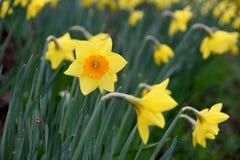 Narciso giallo del fiore Immagine Stock