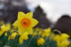 Narciso giallo del fiore Fotografie Stock Libere da Diritti