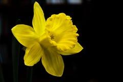 Narciso giallo del narciso del fiore sopra fondo nero Immagini Stock Libere da Diritti