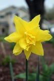 Narciso giallo ortografico Immagini Stock