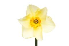 Narciso giallo pallido Fotografia Stock