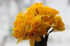 Narciso Gran-a coppa Immagini Stock Libere da Diritti