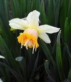 Narciso hermoso de la flor de la primavera foto de archivo