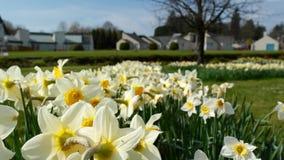 Narciso irlandés Imagen de archivo libre de regalías