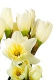 Narciso isolados no branco Imagens de Stock Royalty Free