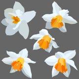 Narciso isolato. Immagini Stock Libere da Diritti