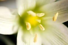 Narciso macro de la flor Fotos de archivo libres de regalías