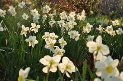 Narciso na chuva Fotos de Stock Royalty Free