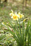 Narciso na mola Imagens de Stock