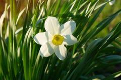 Narciso no fundo da grama verde Fotos de Stock Royalty Free