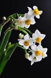 Narciso no preto Foto de Stock Royalty Free