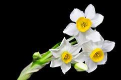 Narciso no preto Imagens de Stock