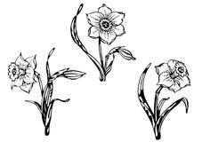 Narciso. Rastro de gráfico a pulso. Fotos de archivo