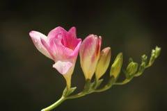 Narciso rosado Fotografía de archivo
