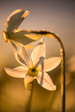 Narciso salvaje Imagen de archivo libre de regalías