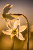 Narciso selvagem Imagem de Stock Royalty Free