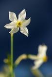 Narciso selvagem Foto de Stock
