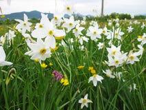 Narciso selvaggio, vista vicina, Carpathians fotografie stock