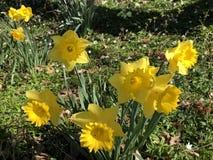 Narciso selvatico o narcissus pseudonarcissus prestato del giglio, Gelbe Narzisse, Osterglocke oder Osterglöckchen fotografia stock libera da diritti