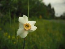 Narciso su erba verde e sulla foresta fotografia stock libera da diritti