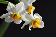 Narciso sul nero Fotografia Stock Libera da Diritti