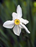 Narciso, um close-up da flor Imagem de Stock Royalty Free