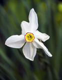 Narciso, un primer de la flor imagen de archivo libre de regalías