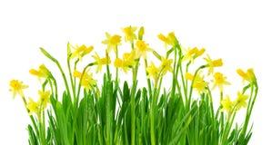 Narciso y narciso aislados Fotografía de archivo libre de regalías