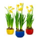 Narciso y narciso en el crisol de flor Fotos de archivo libres de regalías