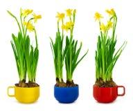 Narciso y narciso en la taza Foto de archivo libre de regalías