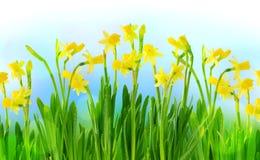 Narciso y narcisos en un cielo azul Imágenes de archivo libres de regalías