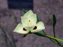 Narcisoblanco op pintas Royalty-vrije Stock Fotografie