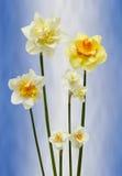 Narcisos Imagen de archivo