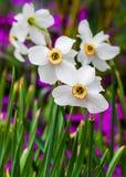 Narcisos. Imagenes de archivo