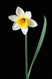 Narcisos Foto de archivo libre de regalías