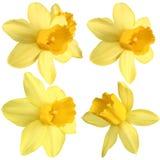 Narcisos aislados Imagen de archivo