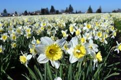 Narcisos amarelos  Fotos de Stock Royalty Free