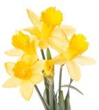 Narcisos amarelos Imagem de Stock Royalty Free