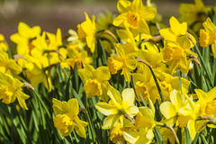 Narcisos amarelos Foto de Stock