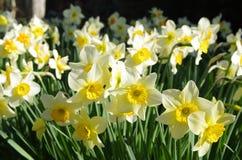 Narcisos amarelos agradáveis imagens de stock royalty free