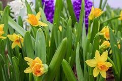 Narcisos amarelos amarelos Fotografia de Stock Royalty Free
