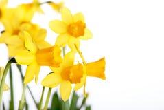 Narcisos amarelos amarelos Foto de Stock Royalty Free